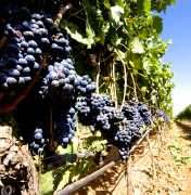 Primitivo and Negroamaro grapes for our Made in Italy niche red wines for a vip market, wines from primitivo and negroamaro grapes to produce the most exclusive wine of the Italian producers to high class restaurants and vip distributors in United States, retail wineries in California, Middle East, Germany wineries, China distribution market. Primitivo red wine for lovers for a vip tables and niche Negroamaro wines for vip world market
